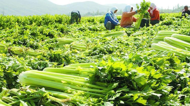 1000亩蔬菜基地